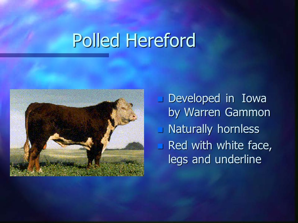 Polled Hereford n Developed in Iowa by Warren Gammon n Naturally hornless n Red with white face, legs and underline