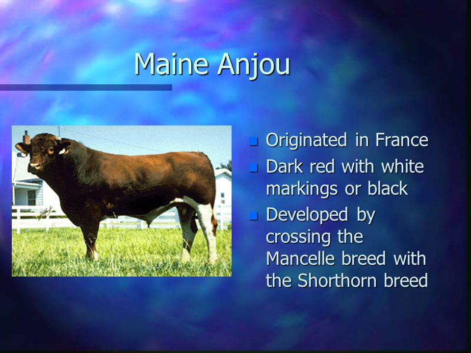 Charolais n Originated in France n Traditionally white in color n Long bodied, large cattle n Heavily muscled n Coarse looking