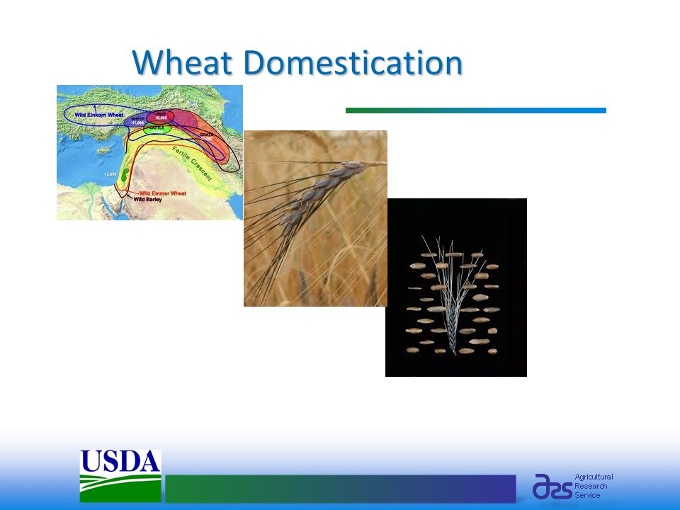 Wheat Domestication