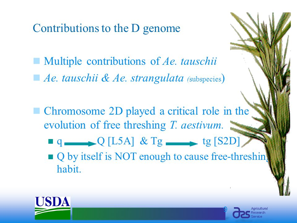 9 Contributions to the D genome Multiple contributions of Ae. tauschii Ae. tauschii & Ae. strangulata (subspecies ) Chromosome 2D played a critical ro