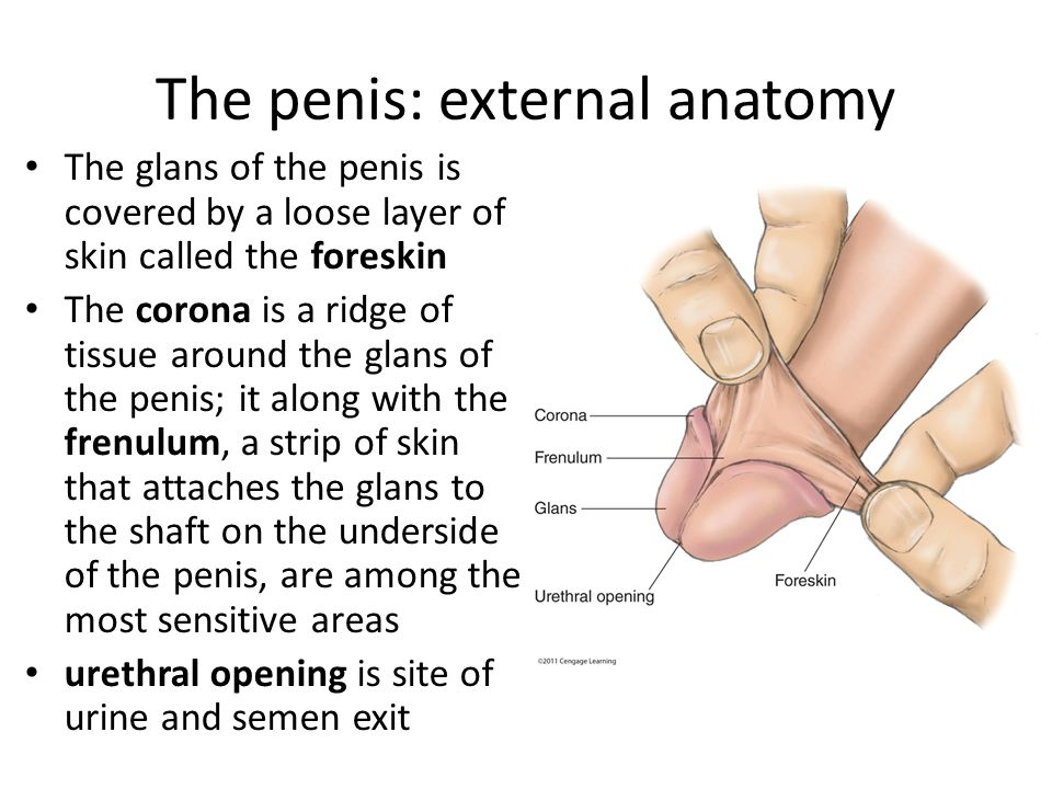 The penis: external anatomy The glans of the penis is covered by a loose layer of skin called the foreskin The corona is a ridge of tissue around the glans of the penis; it along with the frenulum, a strip of skin that attaches the glans to the shaft on the underside of the penis, are among the most sensitive areas urethral opening is site of urine and semen exit
