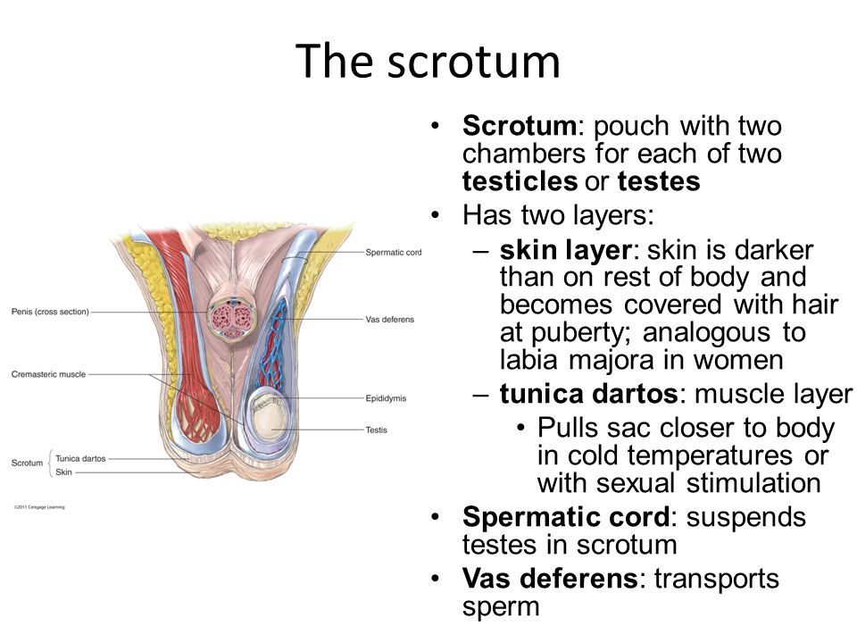 The scrotum Scrotum: pouch with two chambers for each of two testicles or testes Has two layers: –skin layer: skin is darker than on rest of body and becomes covered with hair at puberty; analogous to labia majora in women –tunica dartos: muscle layer Pulls sac closer to body in cold temperatures or with sexual stimulation Spermatic cord: suspends testes in scrotum Vas deferens: transports sperm