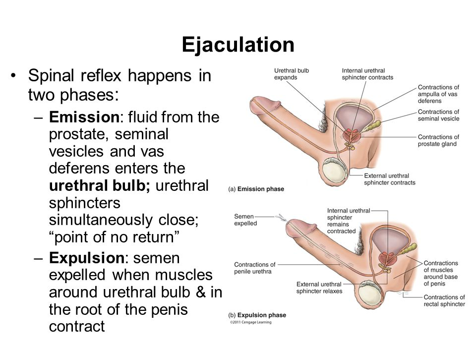 Ejaculation Spinal reflex happens in two phases : –Emission: fluid from the prostate, seminal vesicles and vas deferens enters the urethral bulb; urethral sphincters simultaneously close; point of no return –Expulsion: semen expelled when muscles around urethral bulb & in the root of the penis contract