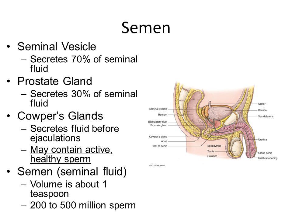 Semen Seminal Vesicle –Secretes 70% of seminal fluid Prostate Gland –Secretes 30% of seminal fluid Cowper's Glands –Secretes fluid before ejaculations –May contain active, healthy sperm Semen (seminal fluid) –Volume is about 1 teaspoon –200 to 500 million sperm