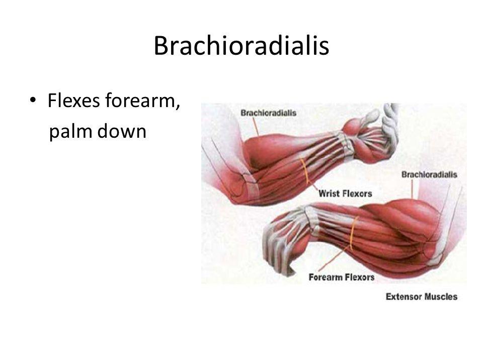 Brachioradialis Flexes forearm, palm down