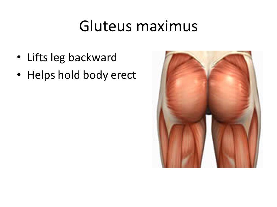 Gluteus maximus Lifts leg backward Helps hold body erect