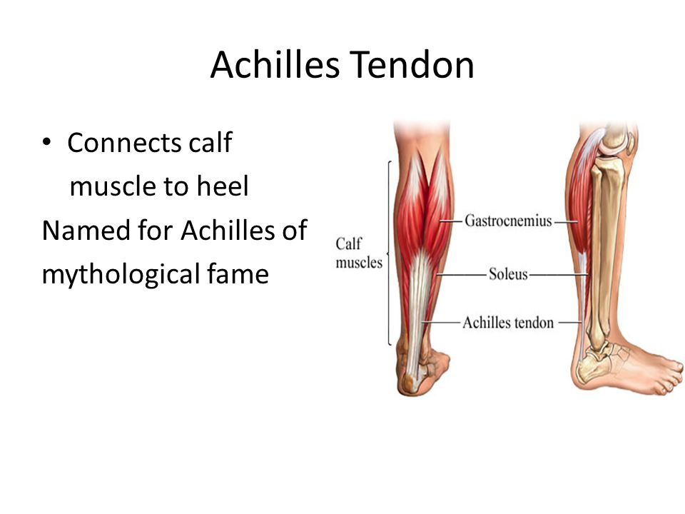 Achilles Tendon Connects calf muscle to heel Named for Achilles of mythological fame