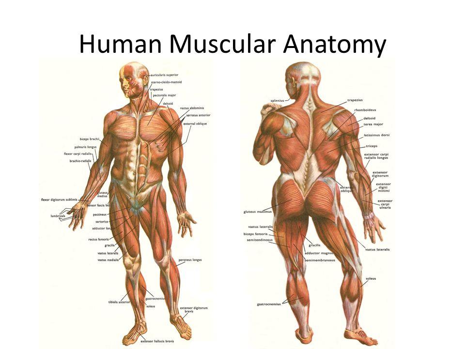 Human Muscular Anatomy