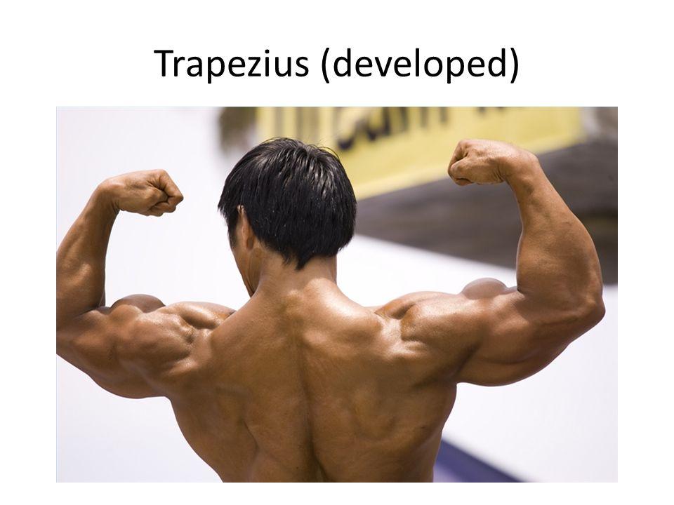 Trapezius (developed)