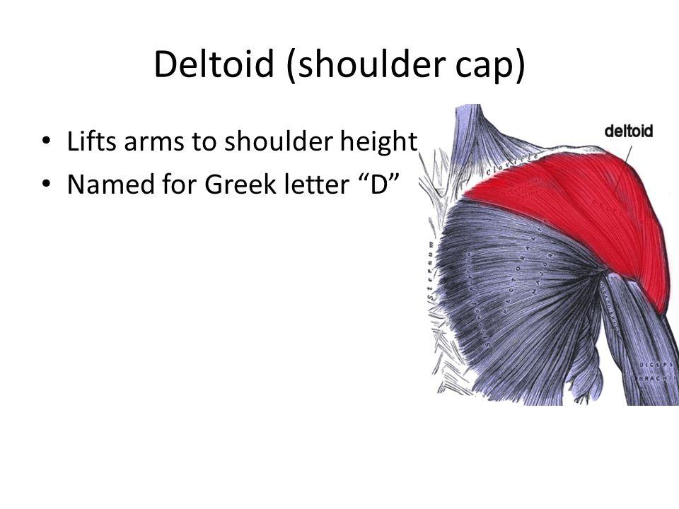 """Deltoid (shoulder cap) Lifts arms to shoulder height Named for Greek letter """"D"""""""