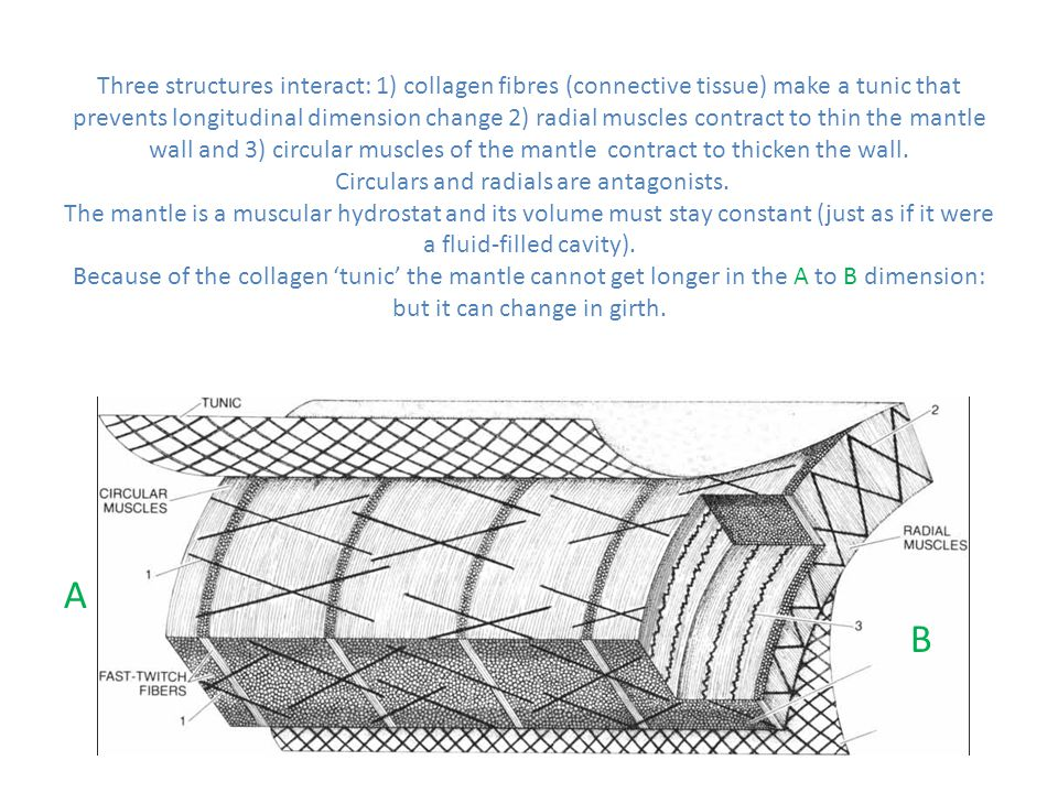 Three structures interact: 1) collagen fibres (connective tissue) make a tunic that prevents longitudinal dimension change 2) radial muscles contract