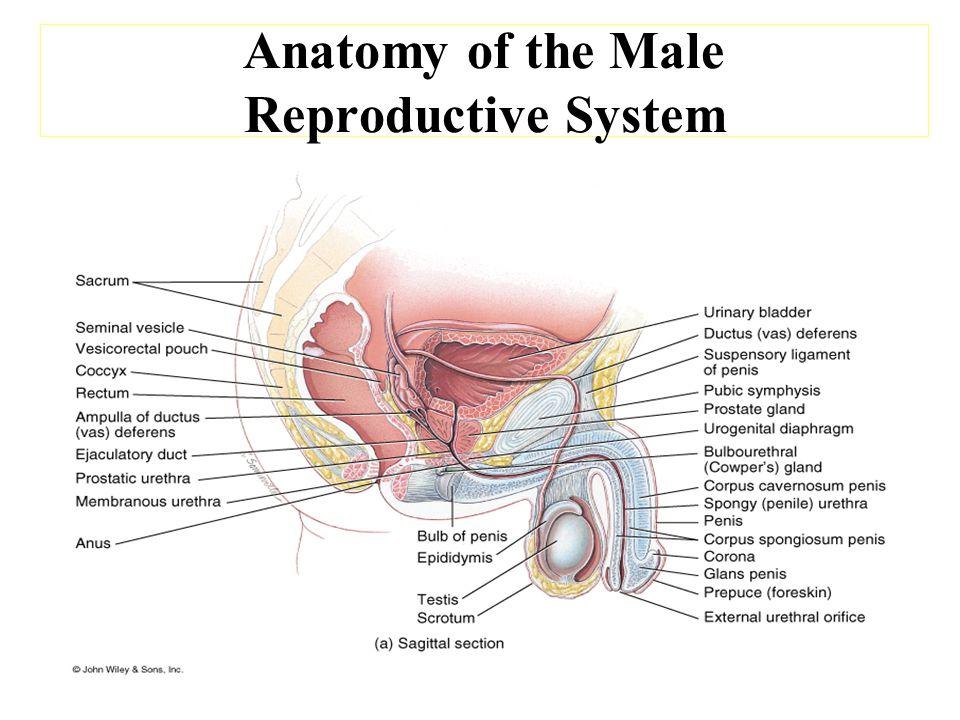 Penis: Average flaccid length 3 -4 inches Average Erect length 5 - 6 Average length of the vagina 3 -6 inches