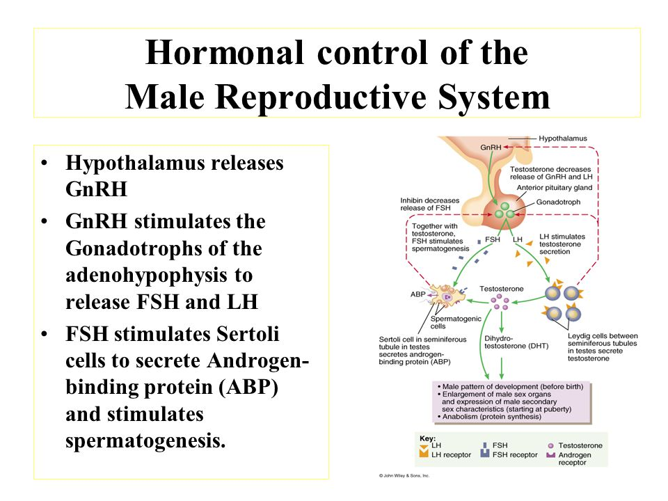 Hormonal control of the Male Reproductive System LH stimulates the Leydig cells to secrete testosterone Inhibin secreted by Sertoli cells controls the release of FSH by gonadotrophs
