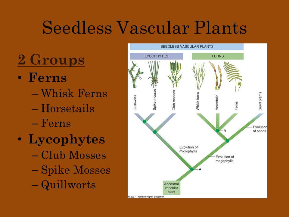 Whisk Ferns Exhibit Dichotomous branching Genera: Psilophyta