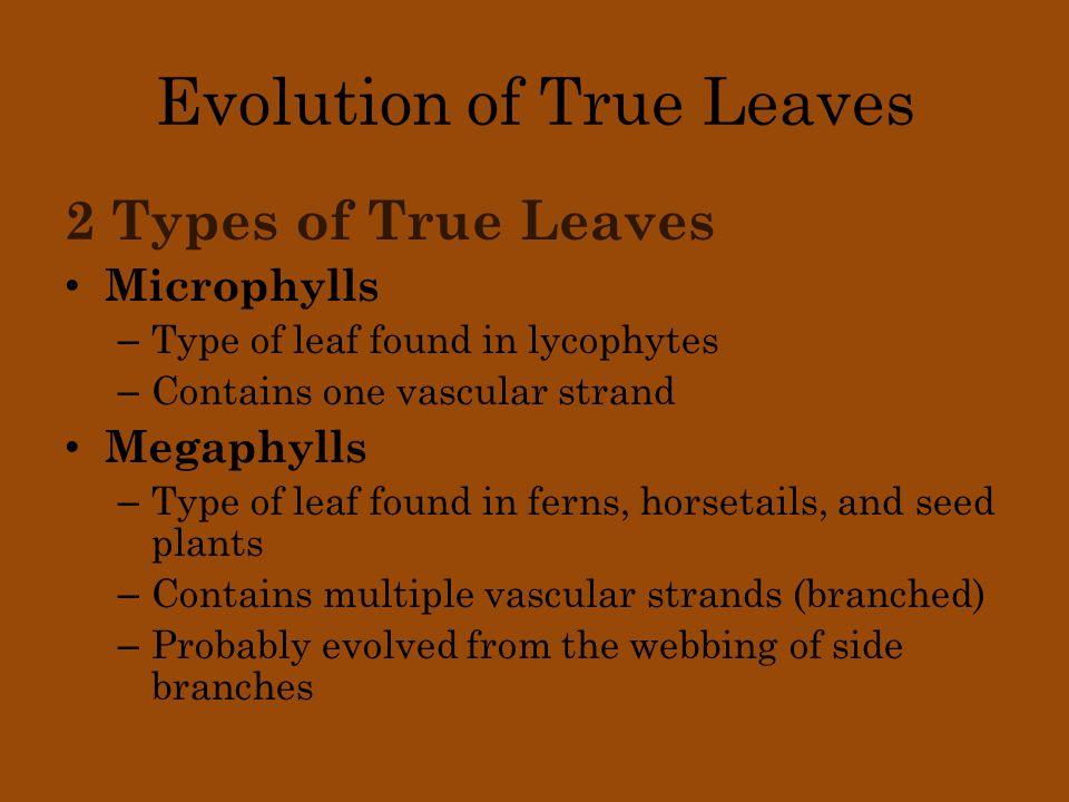 Evolution of True Leaves