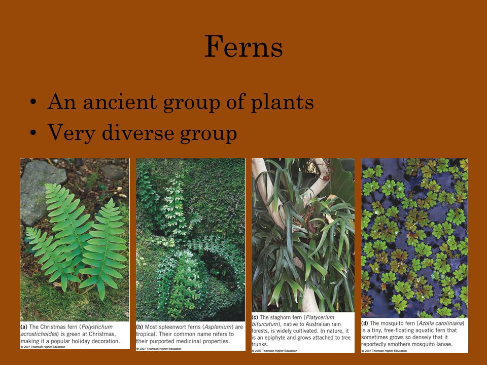 Ferns An ancient group of plants Very diverse group