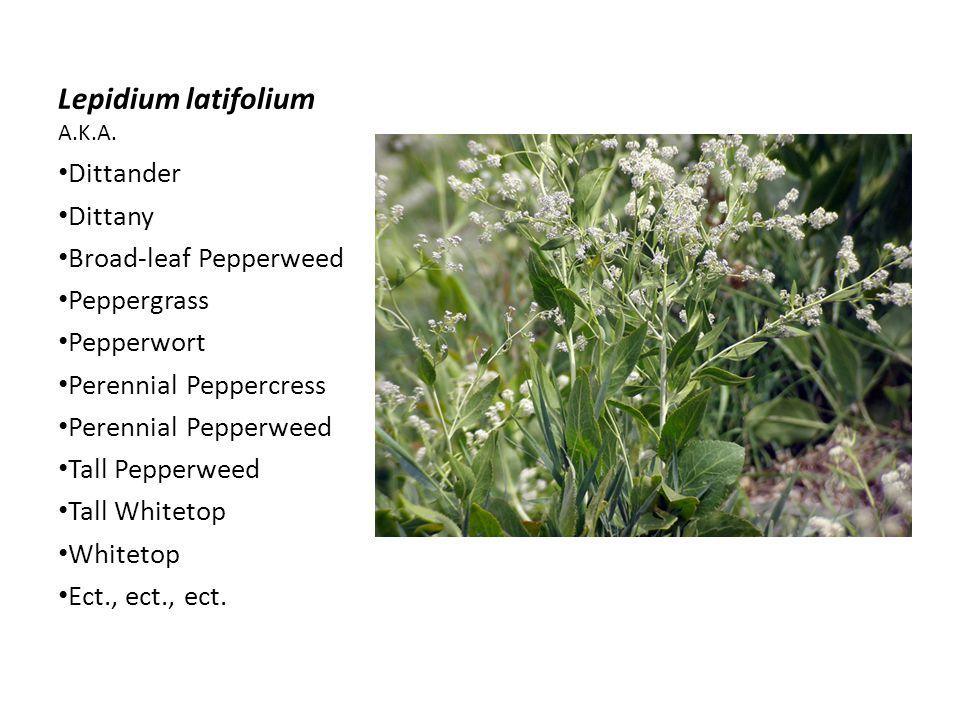 Lepidium latifolium A.K.A.