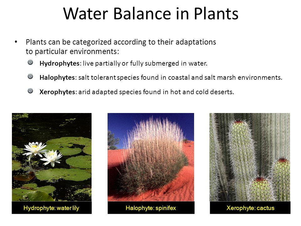 Water Balance in Plants Plants can be categorized according to their adaptations to particular environments: Hydrophytes: live partially or fully subm