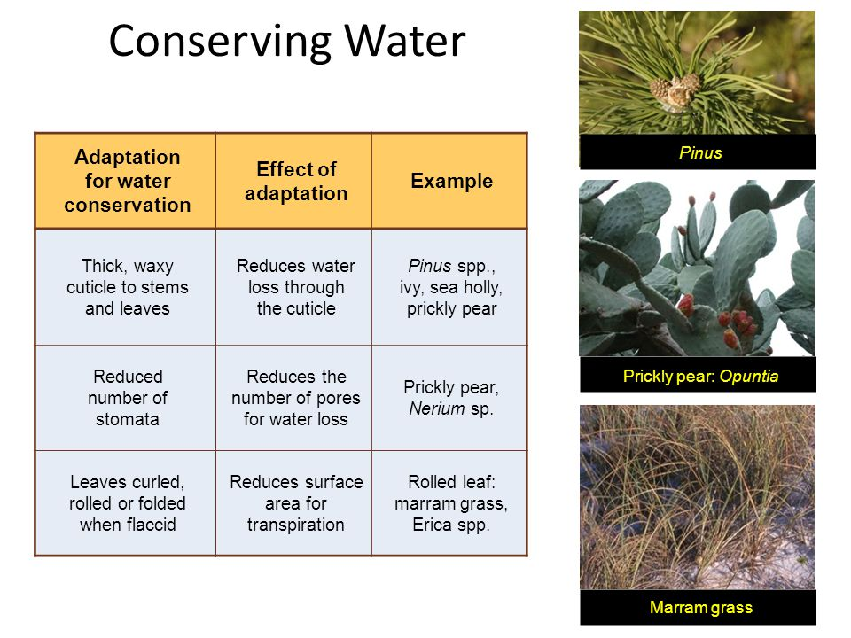 Conserving Water Adaptation for water conservation Effect of adaptation Example Thick, waxy cuticle to stems and leaves Reduces water loss through the