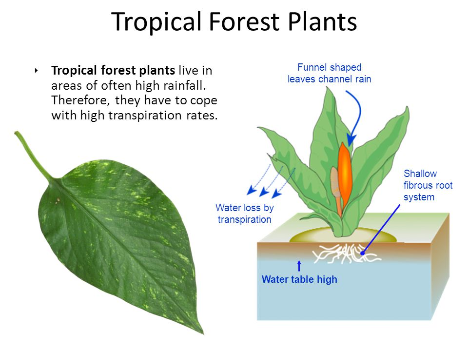 ‣ Tropical forest plants live in areas of often high rainfall. Therefore, they have to cope with high transpiration rates. Tropical Forest Plants Shal