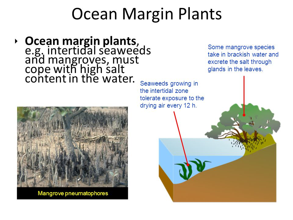 ‣ Ocean margin plants, e.g. intertidal seaweeds and mangroves, must cope with high salt content in the water. Ocean Margin Plants Some mangrove specie