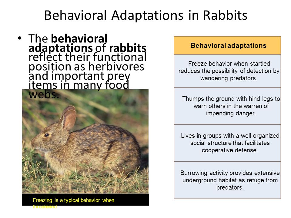 Behavioral Adaptations in Rabbits The behavioral adaptations of rabbits reflect their functional position as herbivores and important prey items in ma