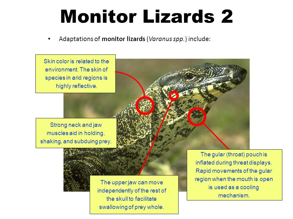 Strong neck and jaw muscles aid in holding, shaking, and subduing prey. Adaptations of monitor lizards (Varanus spp.) include: The gular (throat) pouc