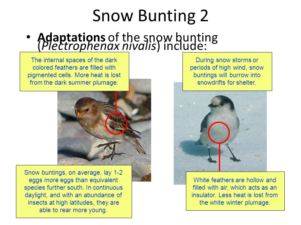 Snow Bunting 2 Adaptations of the snow bunting (Plectrophenax nivalis) include: The internal spaces of the dark colored feathers are filled with pigme