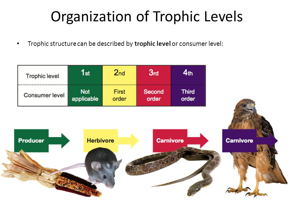 Organization of Trophic Levels Trophic structure can be described by trophic level or consumer level:
