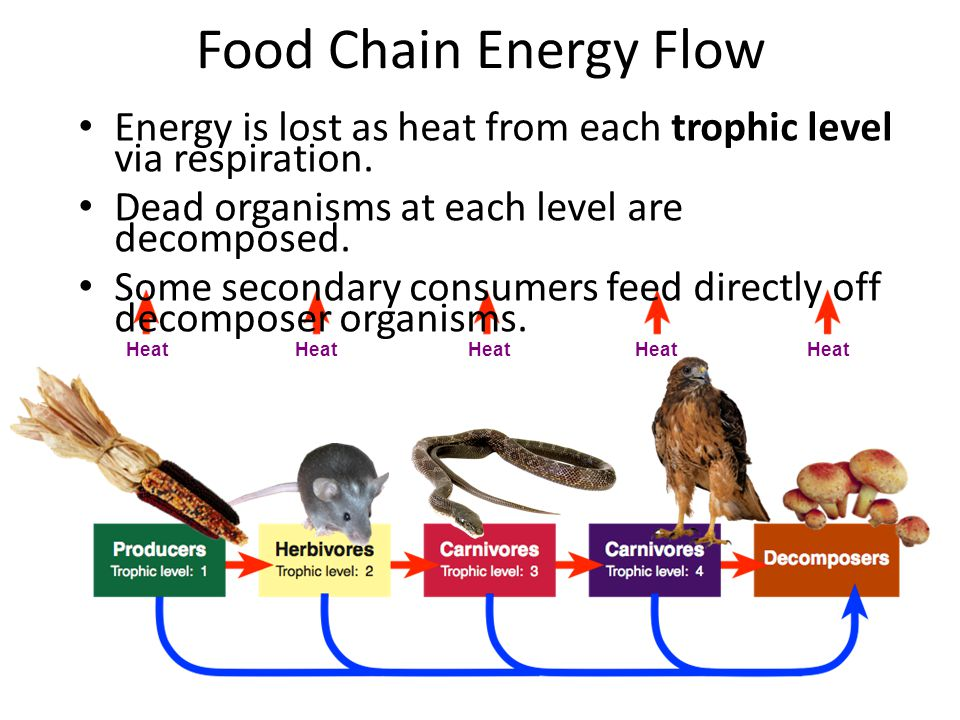 Food Chain Energy Flow Energy is lost as heat from each trophic level via respiration. Dead organisms at each level are decomposed. Some secondary con