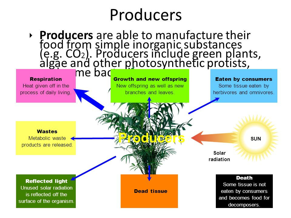 ‣ Producers are able to manufacture their food from simple inorganic substances (e.g. CO 2 ). Producers include green plants, algae and other photosyn