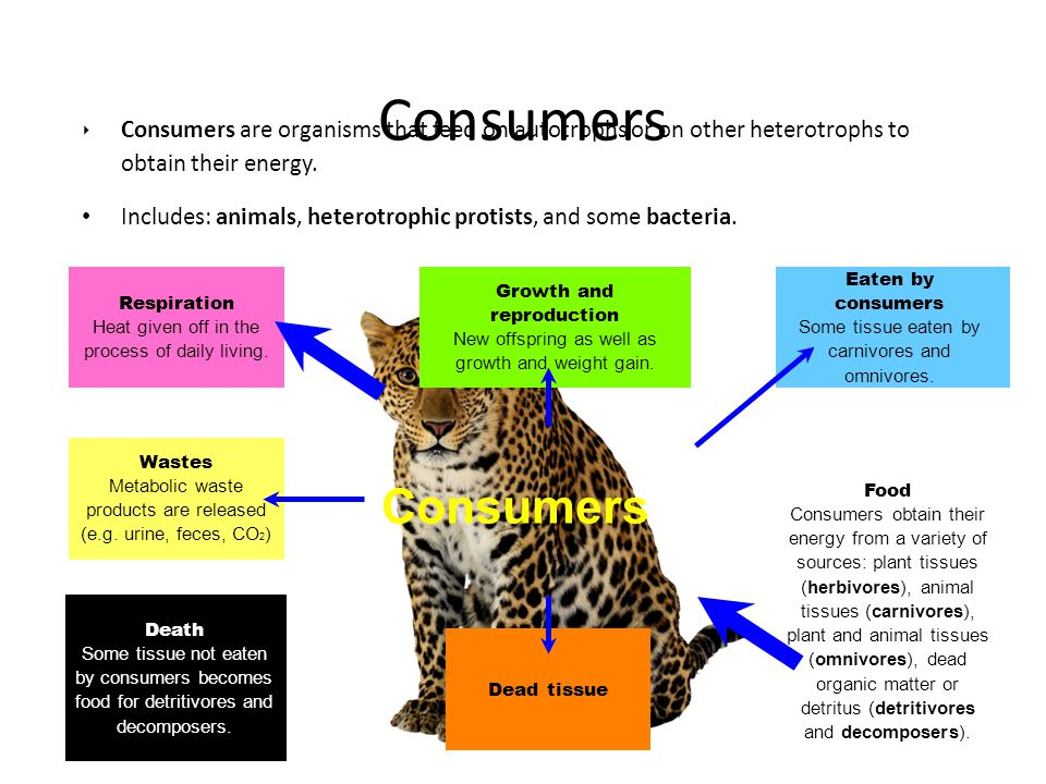 ‣ Consumers are organisms that feed on autotrophs or on other heterotrophs to obtain their energy. Includes: animals, heterotrophic protists, and some