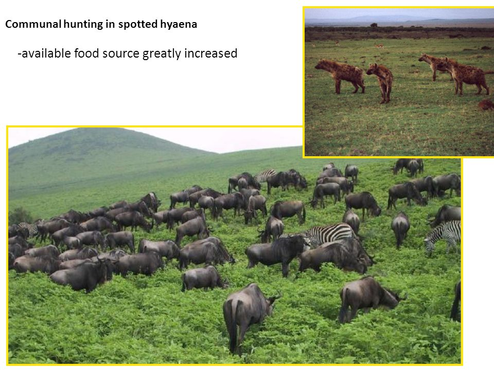 Communal hunting in spotted hyaena -available food source greatly increased
