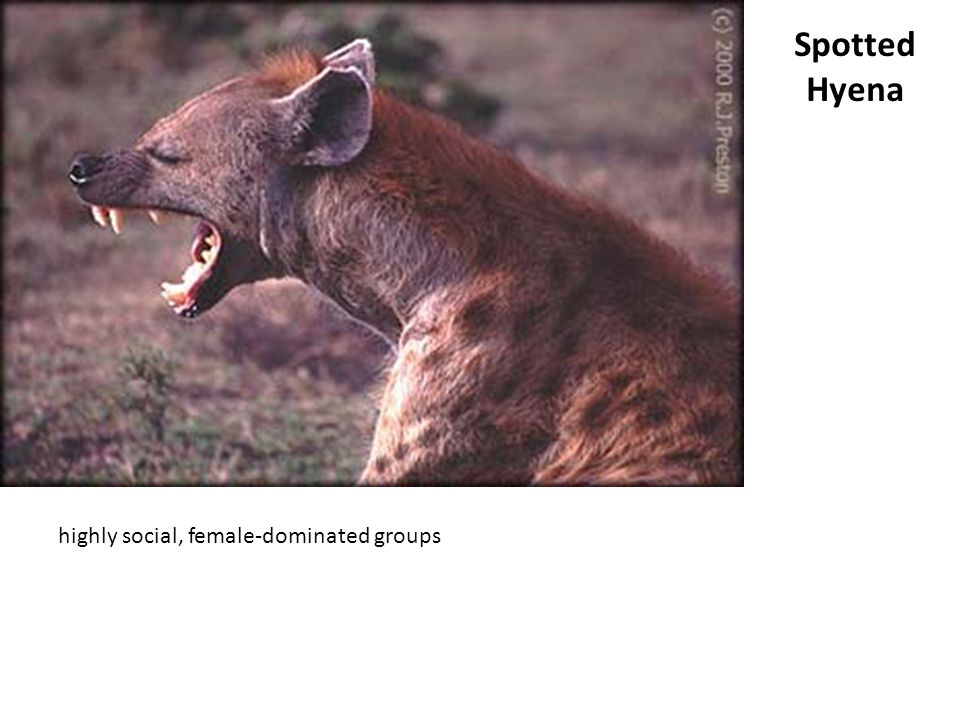 Spotted Hyena highly social, female-dominated groups