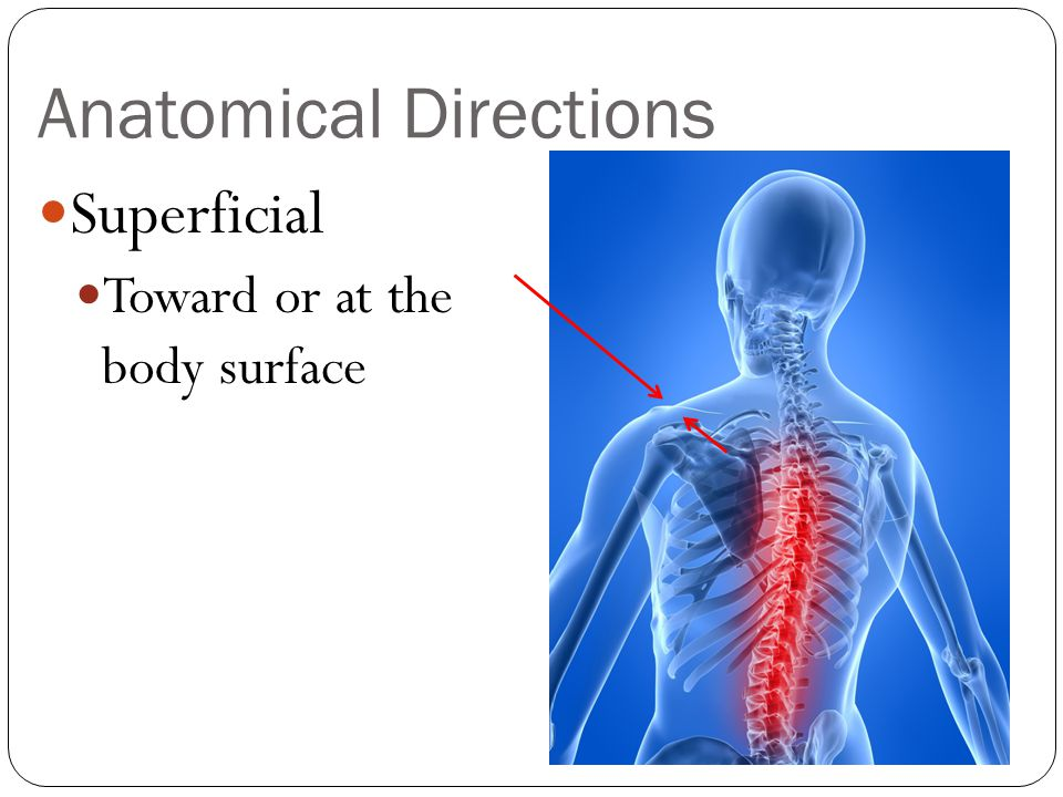 Anatomical Directions Superficial Toward or at the body surface