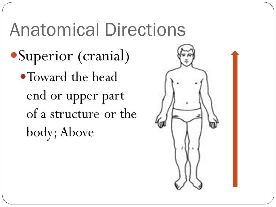 Special Movements Protraction & retraction are nonangular anterior and posterior movements.
