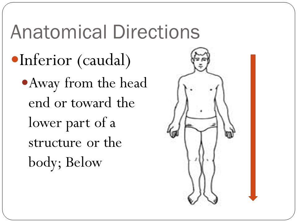 Anatomical Directions Anterior (ventral) Toward or at the front of the body; In front of