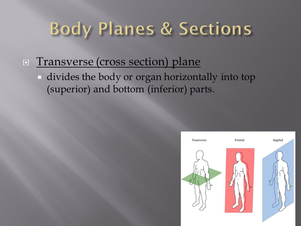  Transverse (cross section) plane  divides the body or organ horizontally into top (superior) and bottom (inferior) parts.