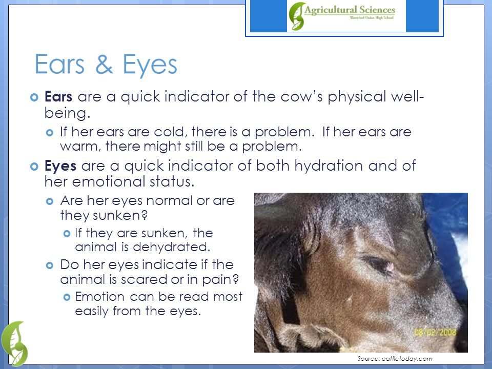 Ears & Eyes  Ears are a quick indicator of the cow's physical well- being.