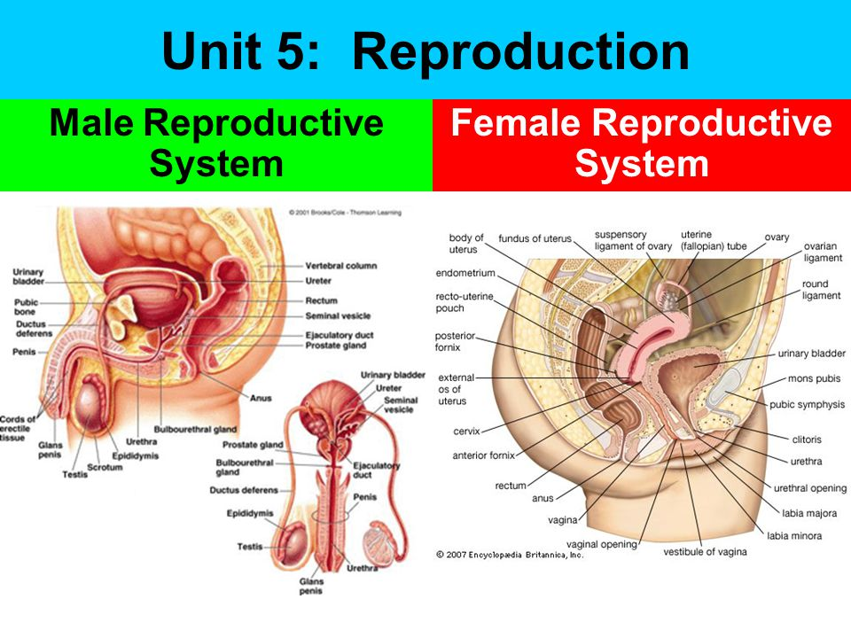 Unit 5: Reproduction Male Reproductive System Female Reproductive System