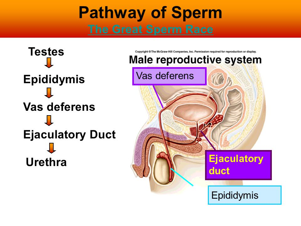 Pathway of Sperm The Great Sperm Race The Great Sperm Race Vas deferens Ejaculatory duct Testes Epididymis Vas deferens Ejaculatory Duct Urethra Epidi