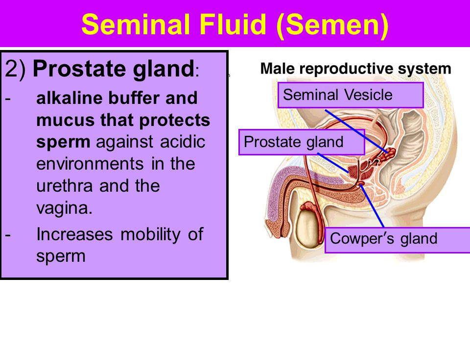 Seminal Fluid (Semen) Cowper's gland Seminal Vesicle Prostate gland 2) Prostate gland : -alkaline buffer and mucus that protects sperm against acidic