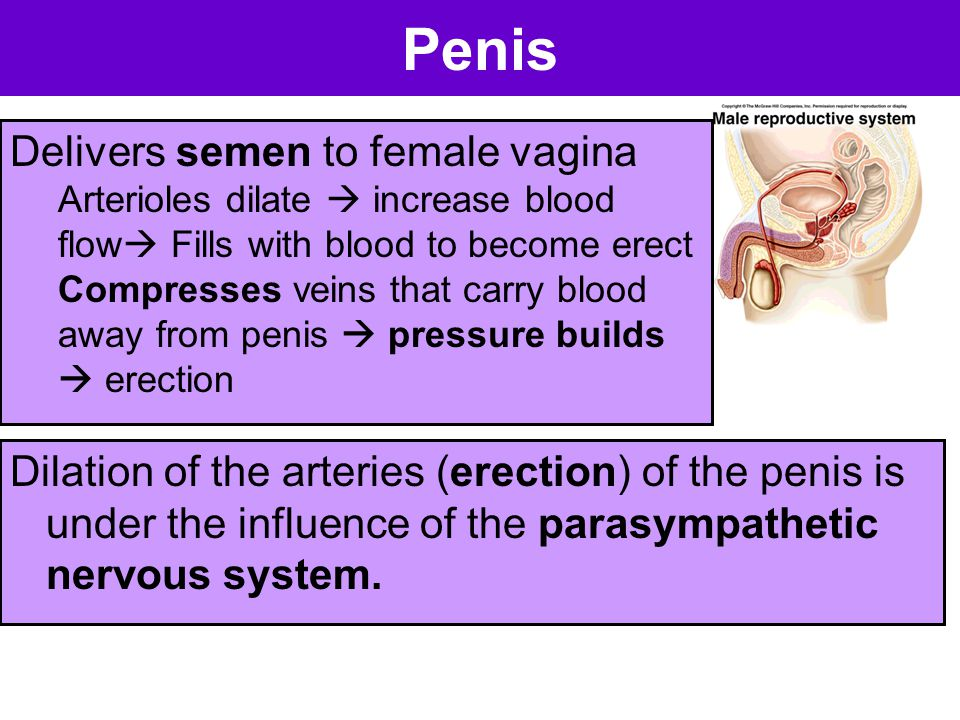 Penis Dilation of the arteries (erection) of the penis is under the influence of the parasympathetic nervous system. Delivers semen to female vagina A