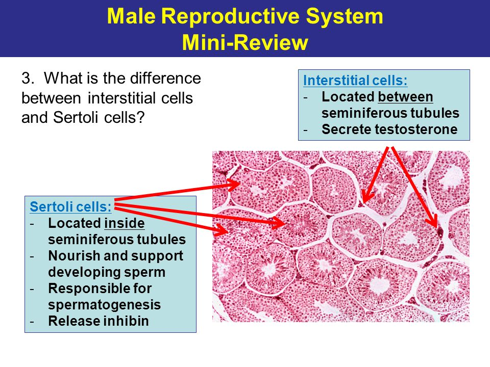 Male Reproductive System Mini-Review 3. What is the difference between interstitial cells and Sertoli cells? Interstitial cells: -Located between semi