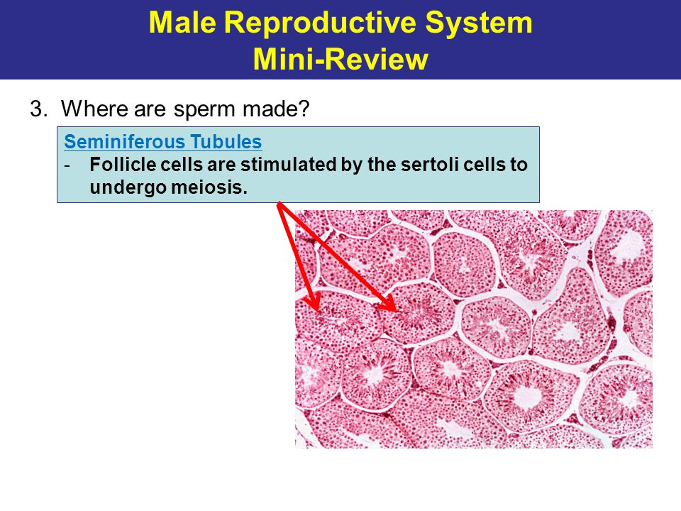 Male Reproductive System Mini-Review 3. Where are sperm made? Seminiferous Tubules -Follicle cells are stimulated by the sertoli cells to undergo meio