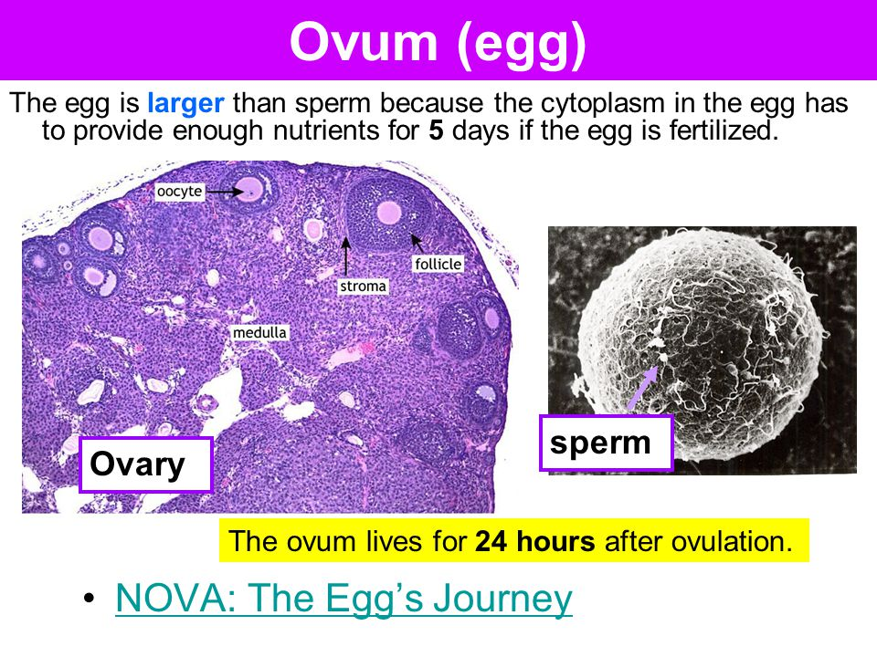 Ovum (egg) The ovum lives for 24 hours after ovulation. The egg is larger than sperm because the cytoplasm in the egg has to provide enough nutrients