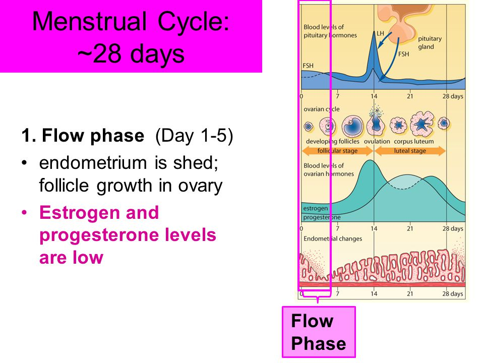 Menstrual Cycle: ~28 days 1. Flow phase (Day 1-5) endometrium is shed; follicle growth in ovary Estrogen and progesterone levels are low Flow Phase