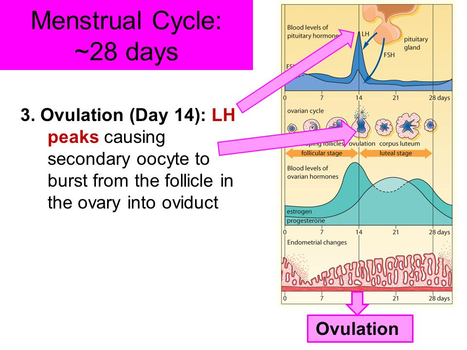 Menstrual Cycle: ~28 days 3. Ovulation (Day 14): LH peaks causing secondary oocyte to burst from the follicle in the ovary into oviduct Ovulation