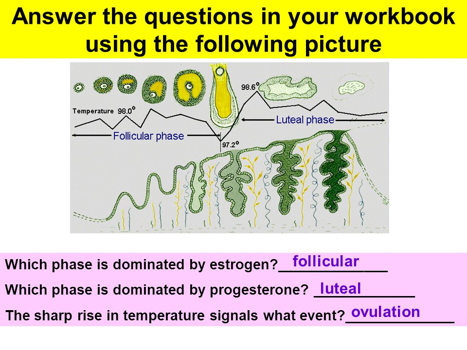 Answer the questions in your workbook using the following picture Which phase is dominated by estrogen?______________ Which phase is dominated by prog