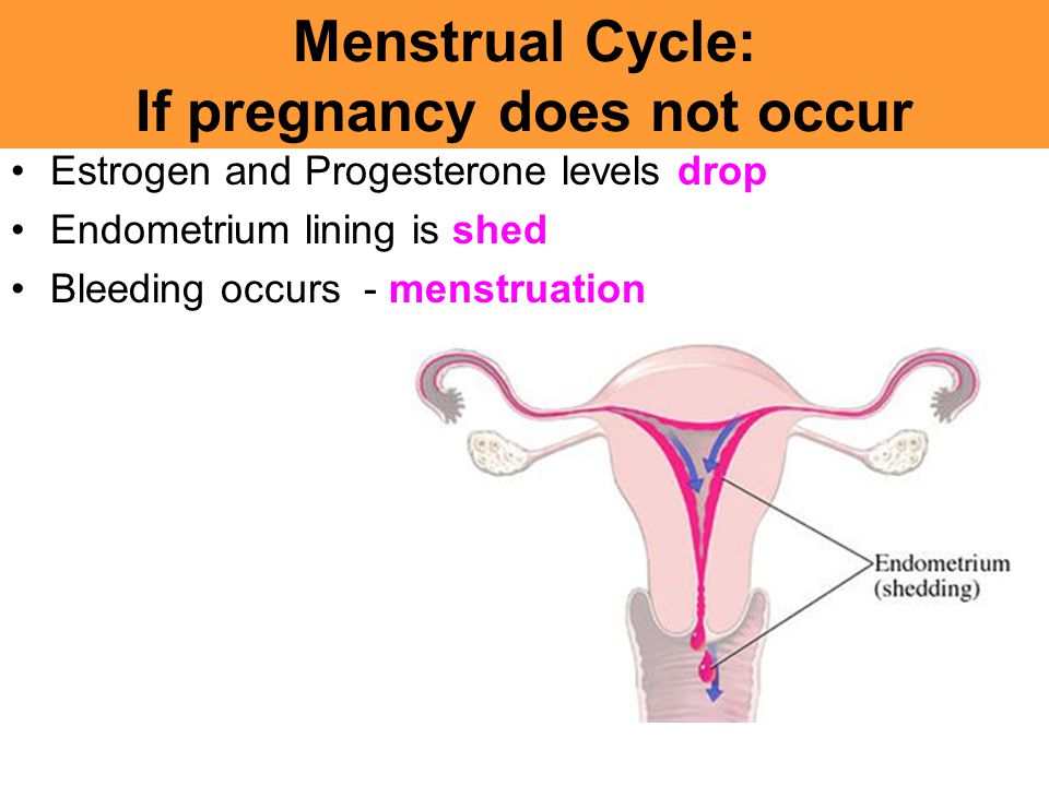 Menstrual Cycle: If pregnancy does not occur Estrogen and Progesterone levels drop Endometrium lining is shed Bleeding occurs - menstruation